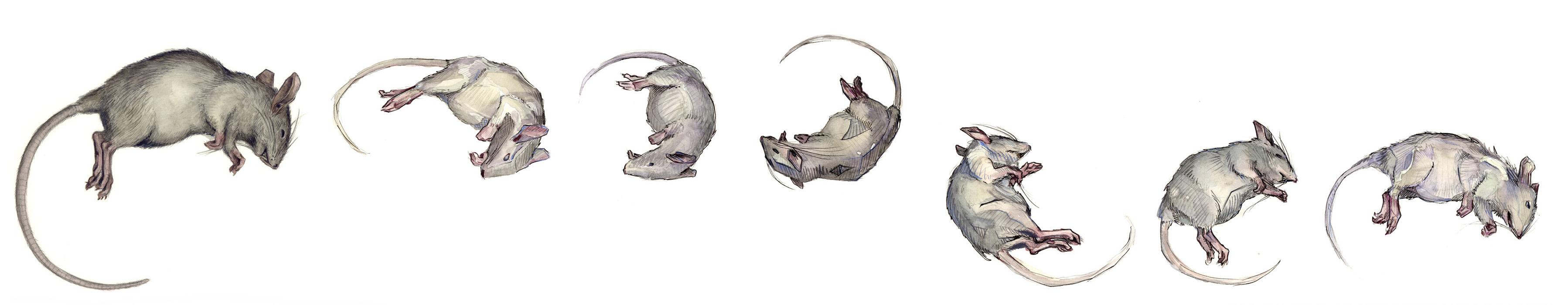 29_rat